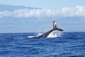 Whale Tale Maui